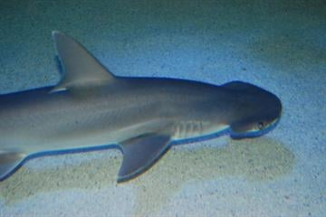 Bonnethead shark By KMOV Web Producer