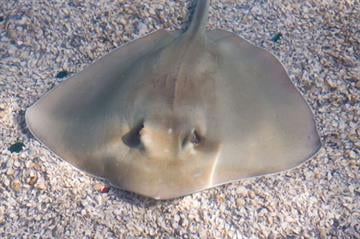 Southern stingray - Living Exhibits photo By KMOV Web Producer