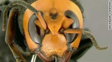 The Asian killer hornet, also known as Vespa mandarinia, is the world's largest hornet. By Brendan Marks