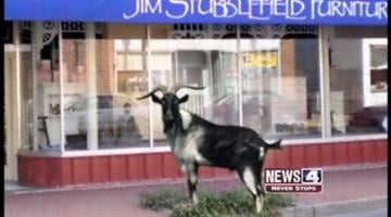 The Mexico Goat wanders along the streets of Mexico, Mo. By KMOV Web Producer
