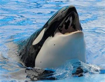 A killer whale raises its head out of the water Saturday, Feb. 27, 2010, during the first show since an orca killed a trainer at the SeaWorld theme park in Orlando, Fla. (AP Photo/Phelan M. Ebenhack, Pool) By Phelan Ebenhack