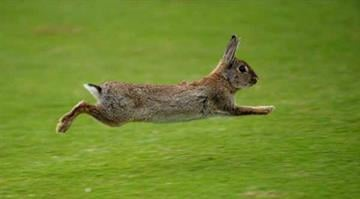 CASCAIS, PORTUGAL - APRIL 05:  A rabbit runs across the fairway during the third round of The Estoril Open de Portugal The Oitavos Dunes Golf Course on April 5, 2008 in Cascais, Portugal.  (Photo by Stuart Franklin/Getty Images) By Dan Mueller