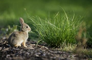 CASTLE ROCK, CO - AUGUST 7:  A cottontail rabbit nibbles on some grass near the 17th tee during the International at Castle Pines Golf Club on August 7, 2005 near Castle Rock, Colorado.  (Photo by Brian Bahr/Getty Images) By Brian Bahr