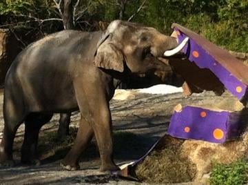 Raja celebrates his 19th birthday at the St. Louis Zoo. By KMOV Web Producer