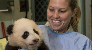 A caretaker holds the 100-day-old panda cub during his 12th exam Tuesday, Nov. 6. By Belo Content KMOV