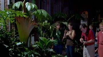 "A rare ""corpse"" flower has bloomed at the Missouri Botanical Garden in St. Louis, but those who get close enough for a look should prepare for a bouquet that is not in the slightest bit floral. By Brendan Marks"