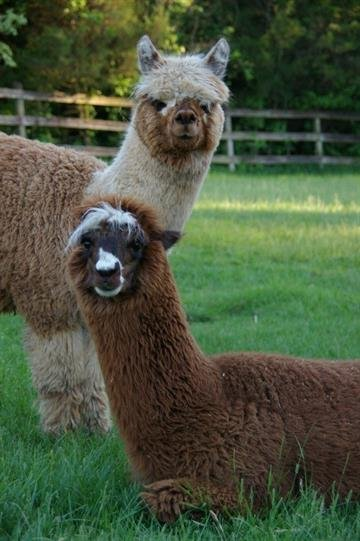 Oshi and Carlos, alpacas that were attacked and killed in Hillsboro on February 11, 2011. By KMOV Web Producer