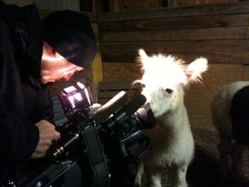 Manny the alpaca was not injured in the attack. By KMOV Web Producer