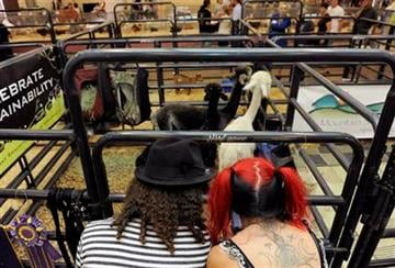 Brandan Styles, left, and Ellie Rusinova, right, both of Denver, look at a pen of Alpacas, at the first Denver County Fair in Denver on Thursday, July 28, 2011. (AP Photo/Chris Schneider) By Chris Schneider