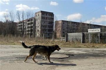 In this Sunday, April 2, 2006 photo, a homeless dog runs in the deserted town of Pripyat, some 3 kilometers (1.86 miles) from the Chernobyl nuclear power plant. (AP Photo/Sergey Ponomarev) By Sergey Ponomarev