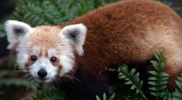 Rusty, a male red panda. / National Zoo/Twitter By Belo Content KMOV