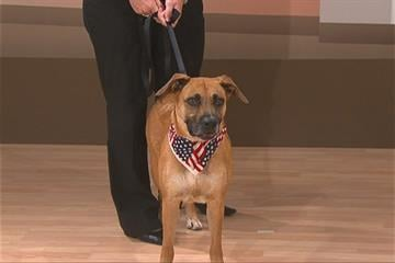 Daisy is a 3-year-old Boxer/Australian Shepherd mix. She loves everyone she meets By Caroline Hilton