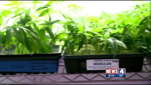 Cannabis plants (Credit: KMOV)