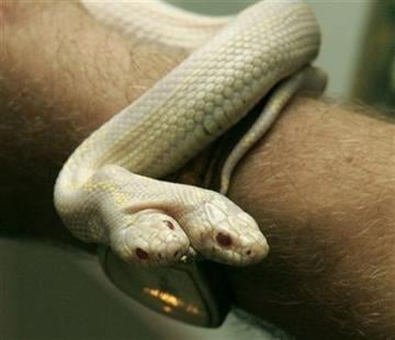 On this photo taken July 8, 2011, a  man  shows a two-headed albino snake in a private zoo in Yalta, Ukraine. (AP Photo/UNIAN) By UNIAN
