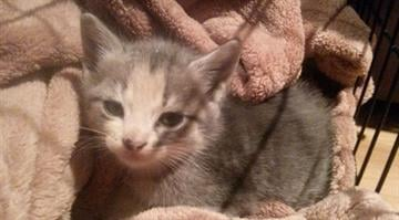 Kathy Mosley says her college-aged daughter found this kitten on a Valley Park road on Tuesday. By Brendan Marks
