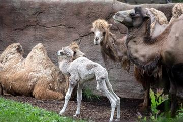 A male camel named Presley, was born on Wednesday, June 4 in an outdoor yard in front of spectating visitors at the St. Louis Zoo. He joined other camels in the zoo's Antelope Yards. By Bryan Denning