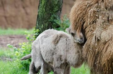 A male camel named Presley, was born on Wednesday, June 4 in an outdoor yard in front of spectating visitors at the St. Louis Zoo. He joined other camels in the zoo's Antelope Yards. By Sarah Heath