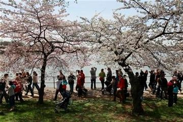 People walk along the tidal basin's blooming trees at the opening day of the National Cherry Blossom Festival in Washington, on Saturday, March 27, 2010. (AP Photo/Jacquelyn Martin) By Jacquelyn Martin