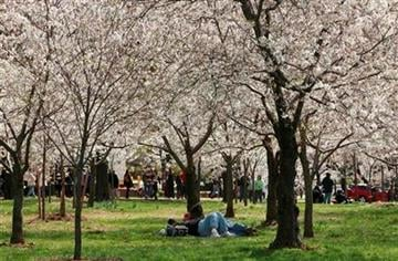A couple lays under the blooming trees on the opening day of the National Cherry Blossom Festival in Washington, on Saturday, March 27, 2010. (AP Photo/Jacquelyn Martin) By Jacquelyn Martin