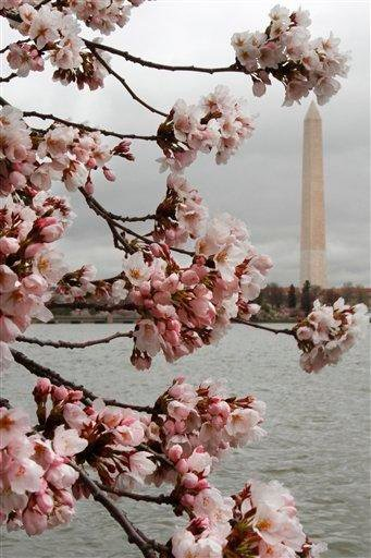 With the Washington Monument in the background, cherry blossom trees began to bloom despite cold temperatures in Washington, Thursday, March 24, 2011. (AP Photo/Jacquelyn Martin) By Jacquelyn Martin