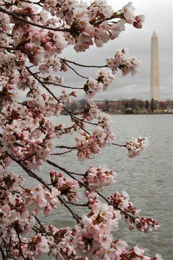 With the Washington Monument in the background, cherry blossom trees begin bloom despite cold temperatures in Washington, Thursday, March 24, 2011. (AP Photo/Jacquelyn Martin) By Jacquelyn Martin