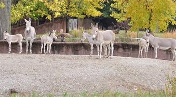 The St. Louis Zoo on Thursday was excited to announce a record five Somali wild ass foals have been born this year. By Robin Winkelman