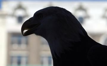 An American bald eagle named Lewis is silhouetted as he leads the Veterans Day Parade in downtown St. Louis on November 10, 2012.   UPI/Bill Greenblatt By BILL GREENBLATT