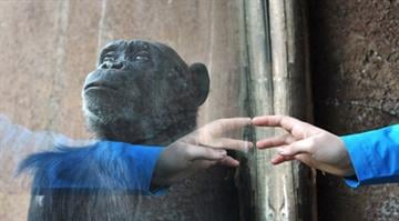A chimpanzee stands behind the window of his cage as a person knocks at the window on March 28, 2014 at the Bioparco of Rome.  AFP PHOTO / TIZIANA FABI        (Photo credit should read TIZIANA FABI/AFP/Getty Images) By TIZIANA FABI