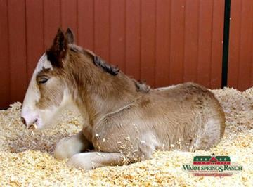 Arizona, the newest Budweiser Clydesdale By Stephanie Baumer