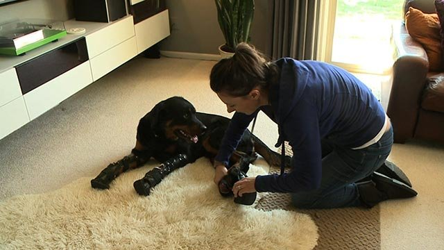 Brutus, a 2-year old Rottweiler, is walking again thanks to modern technology and months of training. He's said to be only the second dog ever known to have four prosthetic limbs.