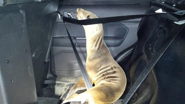 (Source: Mendocino Sheriff) While on patrol, two Mendocino County Sheriff Office deputies found a wayward seal alongside the road. They gently put him in the back seat of their vehicle and released him back into the ocean.
