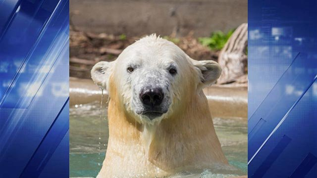 (Credit: St. Louis Zoo) Polar Bear Kali arrives at St. Louis Zoo