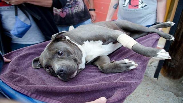 Stray Rescue of St. Louis found Diseno screaming in middle of North City street with a bullet lodged in her eye.