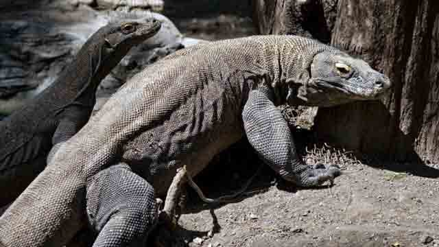 Two Komodo dragons are pictured in an enclosure at the Surabaya Zoo on June 2, 2014.