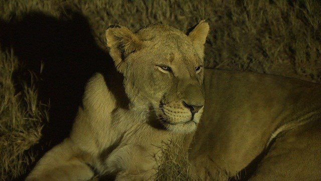 A U.S. woman on a safari outside Johannesburg was attacked and killed by a lion Monday, June 1, 2015.