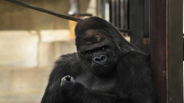 "(Credit: Higashiyama Zoo Botanical Garden) Shabani is a 18 year old male gorilla at Higashiyama Zoo and Botanical Garden. The ""handsome"" gorilla is super popular with young ladies and families."