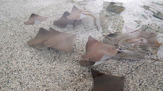 Chicago's Brookfield Zoo is trying to figure out why 54 stringrays died Friday, July 10, 2015. (Credit: Chicago Zoological Society)