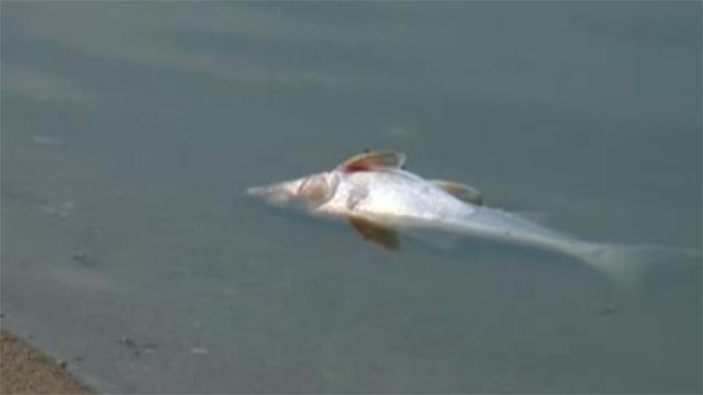 Dead fish have been discovered on Creve Coeur Lake recently