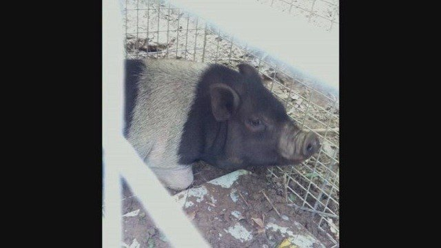 On Wednesday, Police captured a pig that got loose in Fenton earlier in the week.