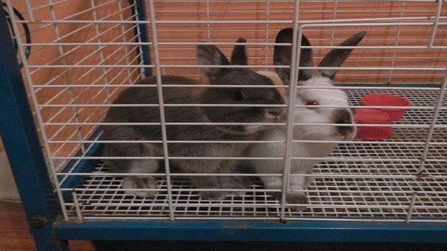 Two rabbits were found among the animals in the home. (Photo: Ron Scheller)