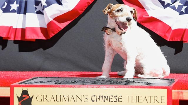 Superstar Dog Uggie attends the pawprint ceremony for Uggie the dog at Grauman's Chinese Theatre on Monday June 25, 2012 in Los Angeles. (Photo by Joe Kohen/Invision/AP)