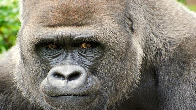 Juma (Credit: Robin Winkelman/St. Louis Zoo)