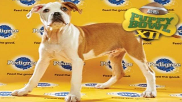 Puddin Pop was chosen from Stray Rescue of St. Louis to compete in the 2016 Puppy Bowl (Credit: Animal Planet / Stray Rescue)
