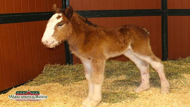 Mac was born at 1:20 a.m. Tuesday (Credit: Warm Springs Ranch)