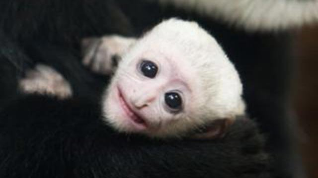 Ziggy, a black and white Guereza colobus, was born at the zoo's Primate House on January 10. (Credit: St. Louis Zoo)