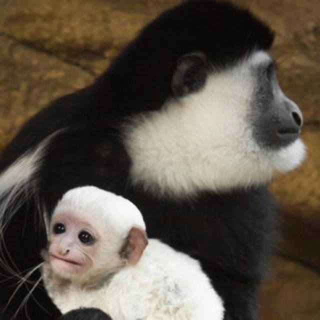 Ziggy, a black and white Guereza colobus, was born at the zoo's Primate House on January 10. (Credit: St. Louis Zoo