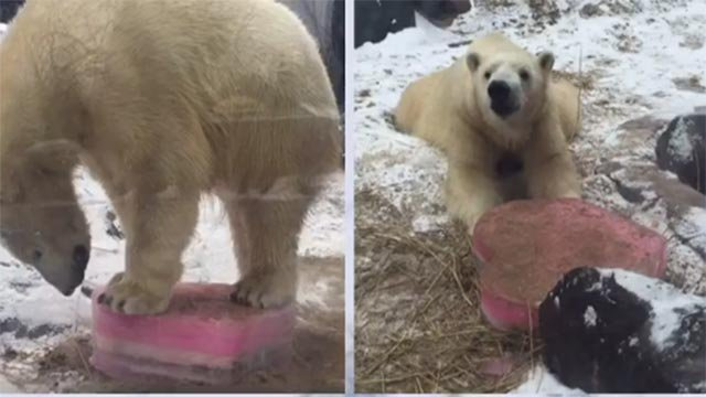 Kali enjoyed a heart-shaped piece of ice stuffed with goodies for Valentine's Day (Credit: The St. Louis Zoo / Facebook)