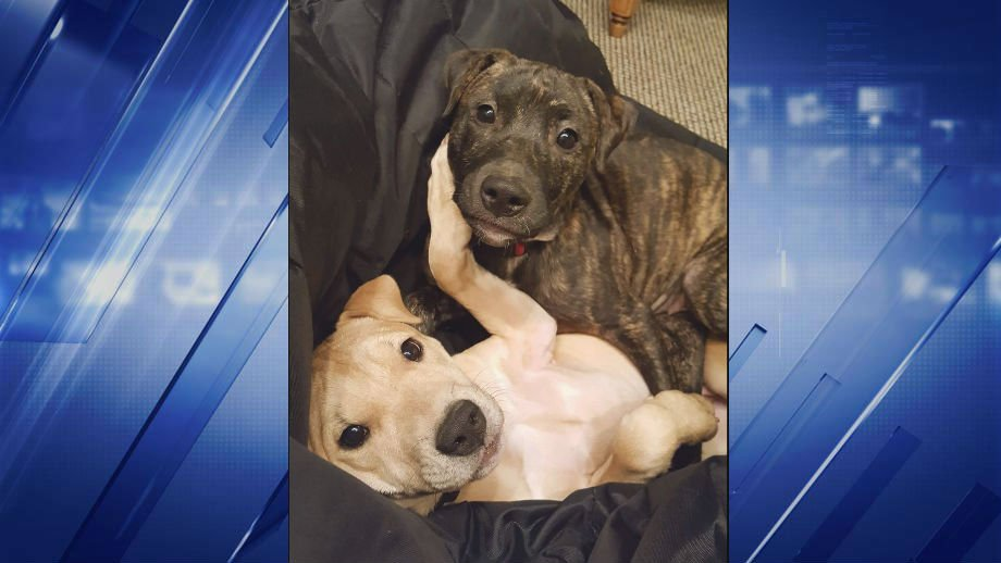 A pair of 9-month-old pitbull-terrier mix puppies were euthanized after a family dropped them off for adoption at Madison County Animal Control. (Credit: Fairchild Family)