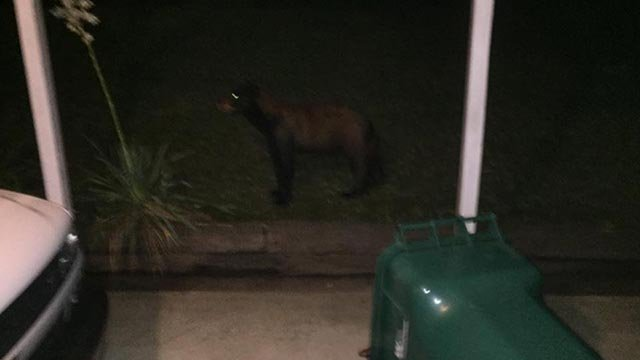 A bear was seen in Pevely (Credit: Pevely Police Department / Facebook)