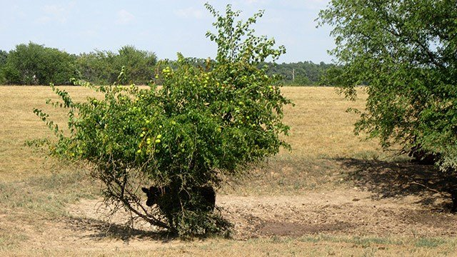 In this Aug. 10, 2018 photo provided by the University of Missouri Extension, a steer takes shelter under a bush near a dry pond on a farm near Monett, Mo. Drought conditions across most of Missouri are causing concerns for farmers.(Eldon Cole via AP)